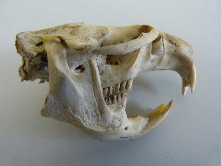 Gray wolf skull
